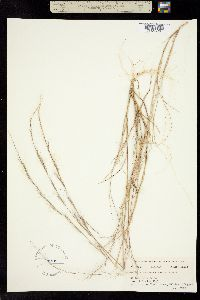 Aristida intermedia image