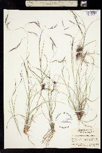 Aristida schiedeana image