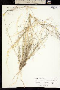 Image of Aristida wrightii