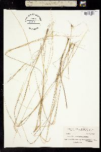 Image of Aristida tenuispica