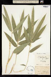 Image of Arundinaria gigantea