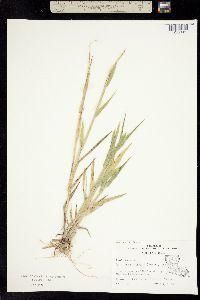 Image of Panicum platyphyllum