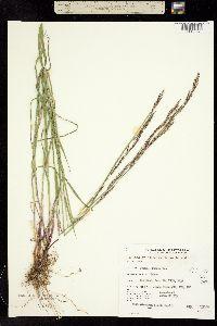 Melica aristata image