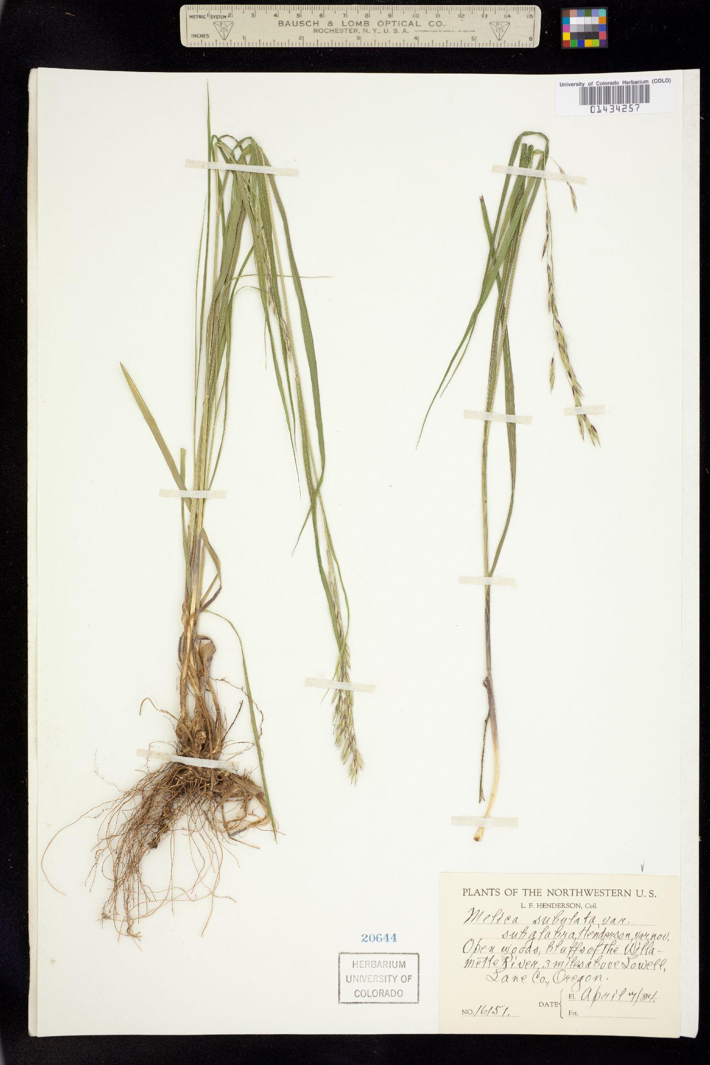 Bromelica subulata image