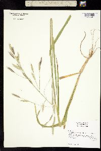 Image of Bromus sitchensis