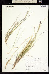 Image of Calamagrostis lapponica