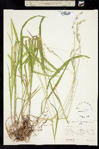 Image of Bromopsis suksdorfii