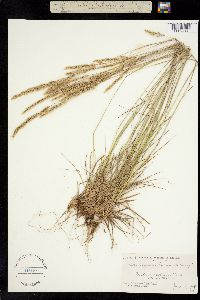 Image of Calamagrostis koelerioides