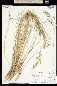 Image of Calamagrostis tolucensis