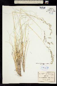 Calamagrostis orizabae image