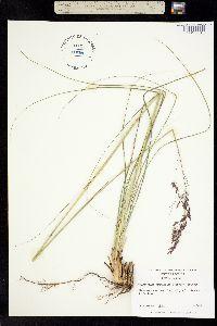 Image of Calamovilfa brevipilis