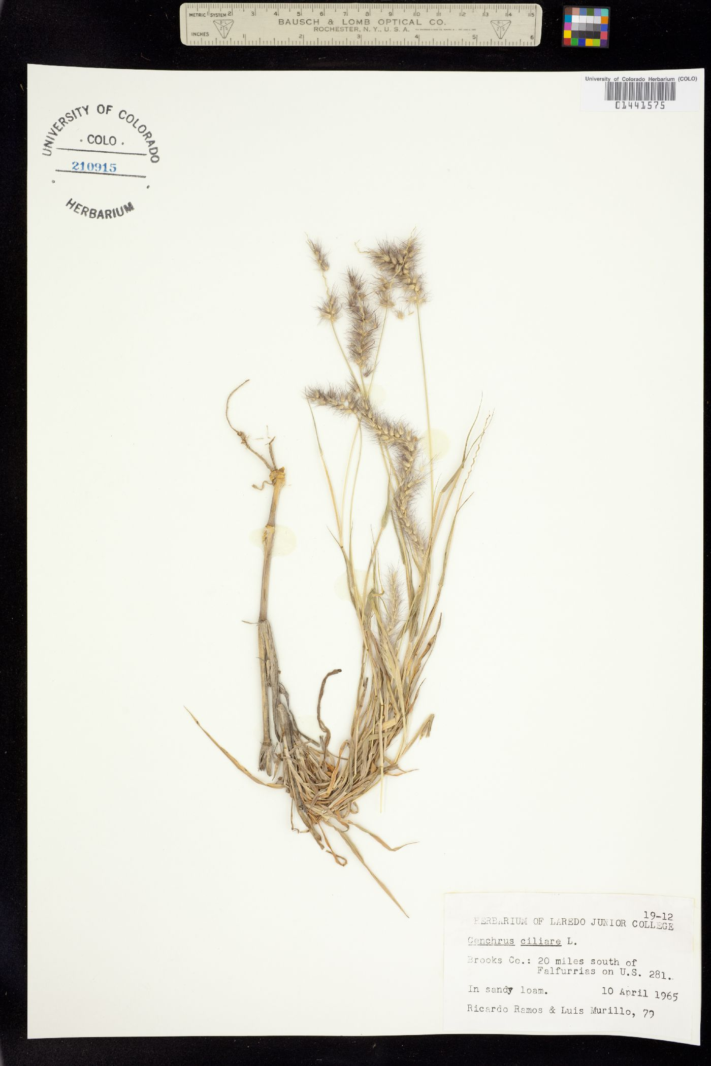 Cenchrus ciliaris image