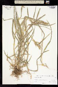 Image of Cenchrus echinatus