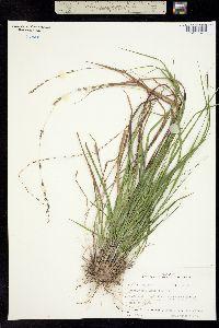 Image of Chasmanthium laxum