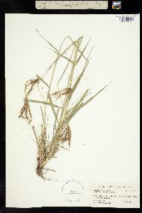 Image of Chloris ciliata