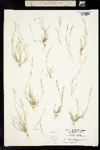 Chondrosum barbatum image