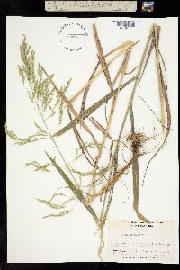 Image of Cinna arundinacea
