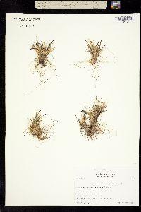Puccinellia vahliana image