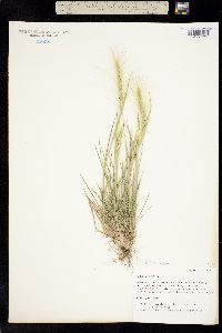 Hordeum jubatum subsp. jubatum image