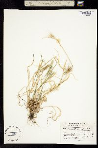 Critesion marinum image