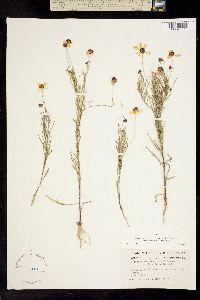 Image of Helenium badium