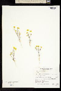 Lasthenia californica image