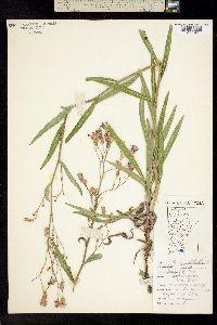 Image of Lactuca pulchella