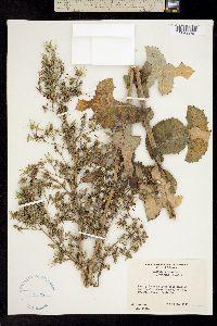 Image of Lactuca virosa