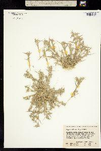 Image of Crypsis vaginiflora