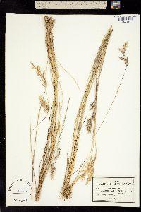 Image of Danthonia dusenii