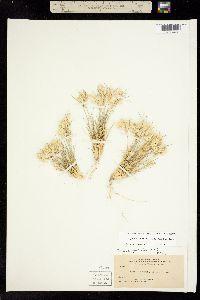 Dasyochloa pulchella image