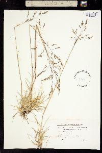 Deschampsia alpina image