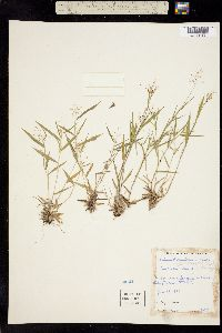 Image of Dichanthelium portoricense