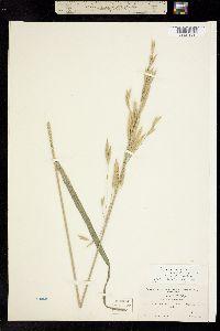 Image of Dichanthelium dichotomum