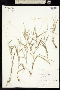 Image of Dichanthelium pedicellatum