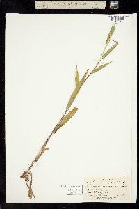 Image of Dichanthelium scoparium