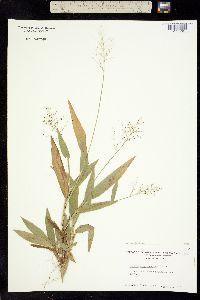 Image of Dichanthelium sphaerocarpon