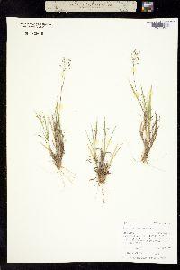 Dichanthelium wilcoxianum image
