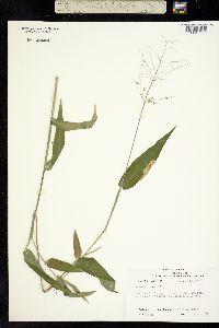 Image of Dichanthelium boscii