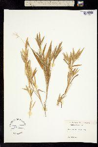 Image of Panicum nodiflorum
