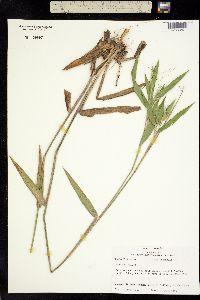 Image of Dichanthelium ravenelii