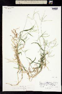 Image of Digitaria ciliaris