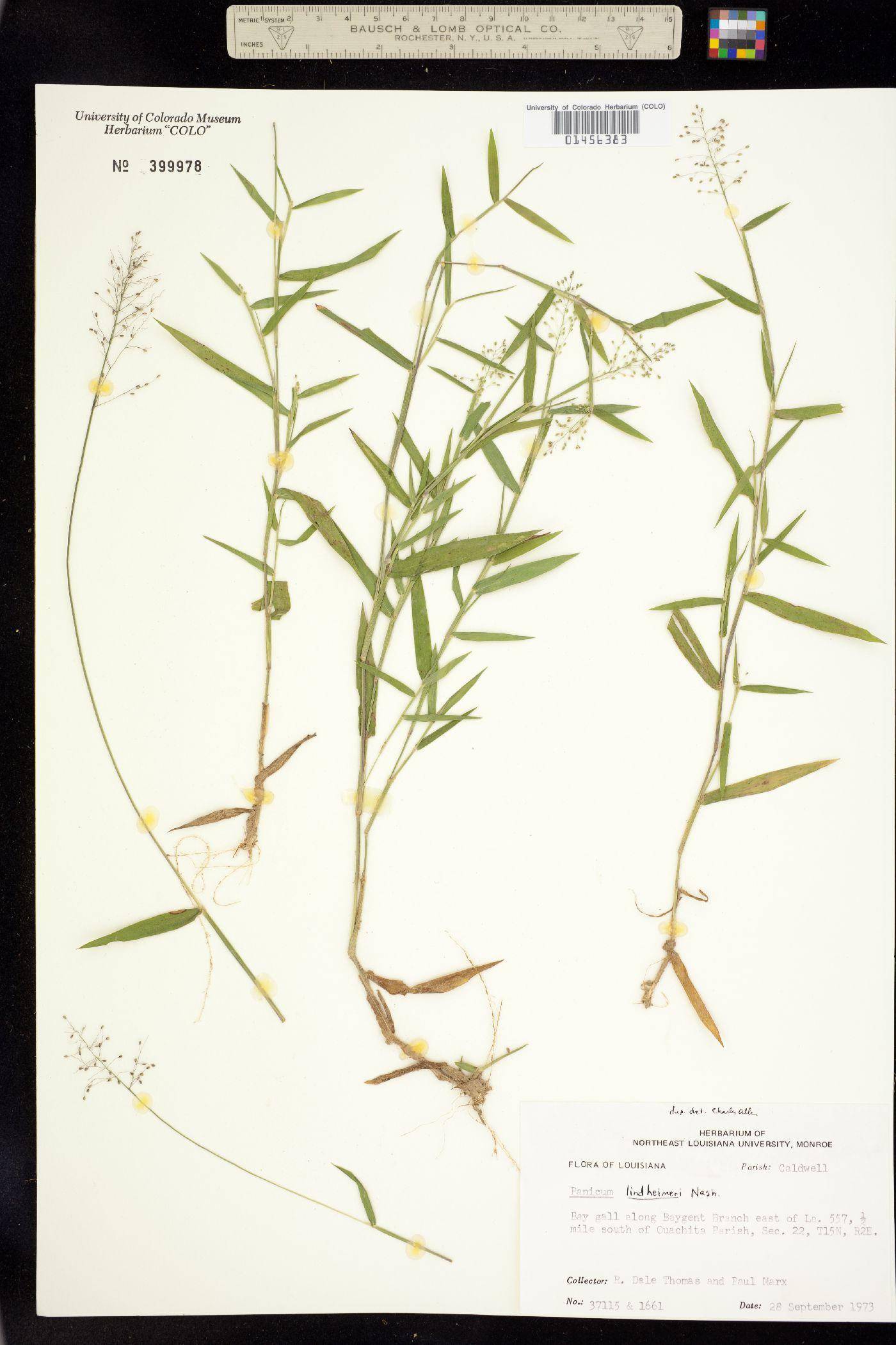 Dichanthelium acuminatum var. lindheimeri image