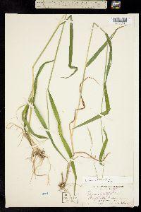 Image of Elymus hirsutus