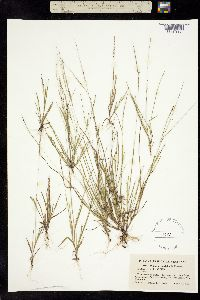 Image of Digitaria laeviglumis