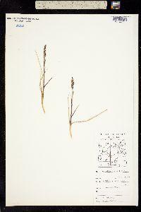 Image of Arundo hyperborea