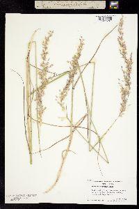 Image of Ehrharta calycina