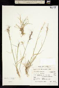 Image of Elymus pringlei