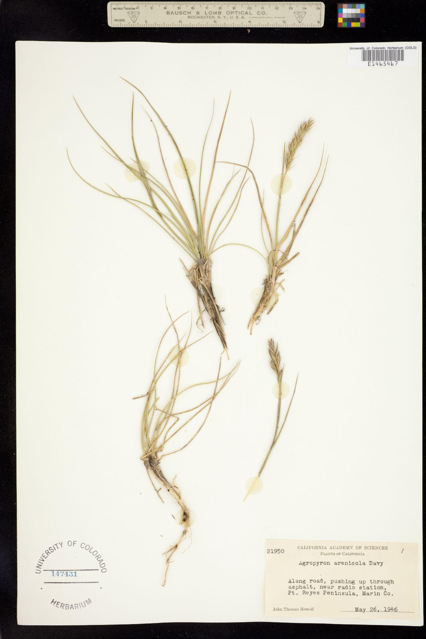 Elymus arenicola image