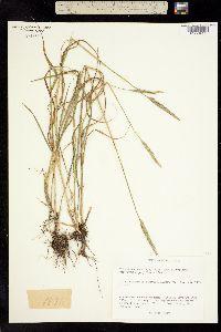 Elymus caninus var. donianus image